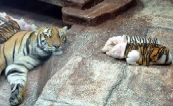 tigerpiglets1.jpeg