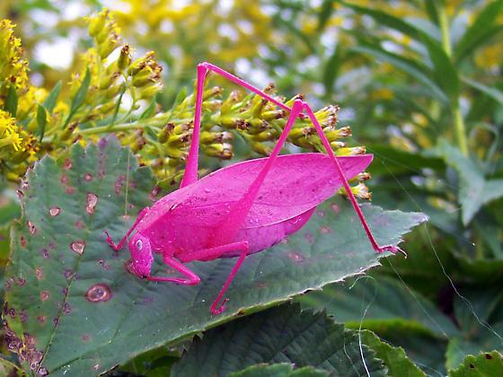 pinkbug.jpeg