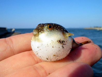 Yup - it's a blowfish
