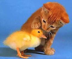chickcat.jpg