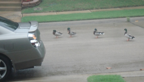 ducksinarow.JPG