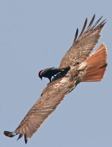 freeridebirdhawk.jpg