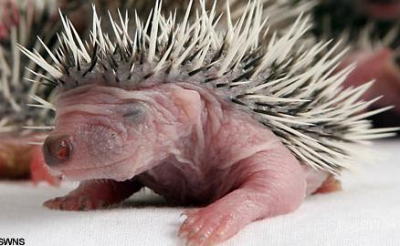 babyheadgehog.jpg