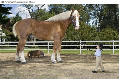 capt0c9b383a7fae4092a5f9bc38d24ef124guinness_world_records_2008_tallest_and_smallest_living_horses_prn8_guiness_world_records_hor_jpg.jpeg