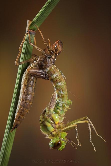 dragonflyslin.jpg