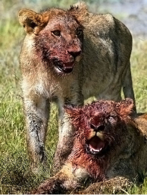 lionsafasd1.jpg