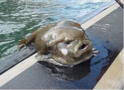 lumpfish.jpeg