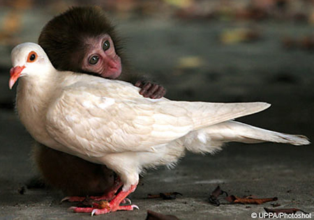 monkeypidgeiondaf1.jpg