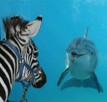 zebra_dolphin_wxs105.jpg