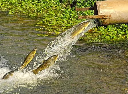 fishpipeafd1.jpg