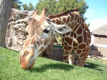 girafasfad2.jpg