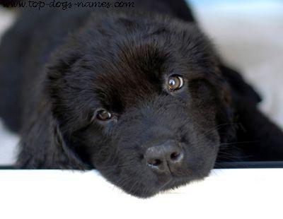 newfoundland-puppy.jpg