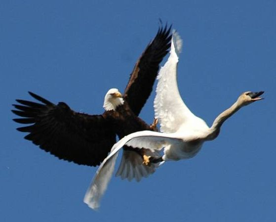 eagle attack - photo #18